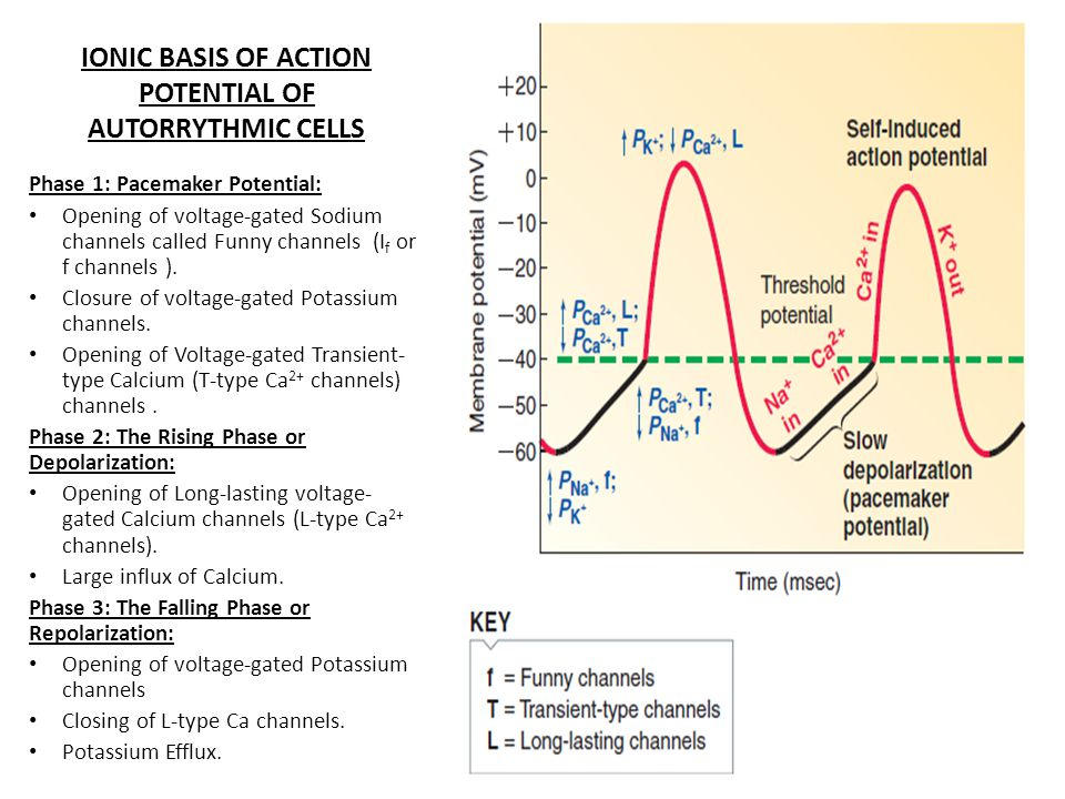 IONIC BASIS OF ACTION POTENTIAL OF AUTORRYTHMIC CELLS Phase 1: Pacemaker Potential: Opening of voltage-gated Sodium channels called Funny channels (I