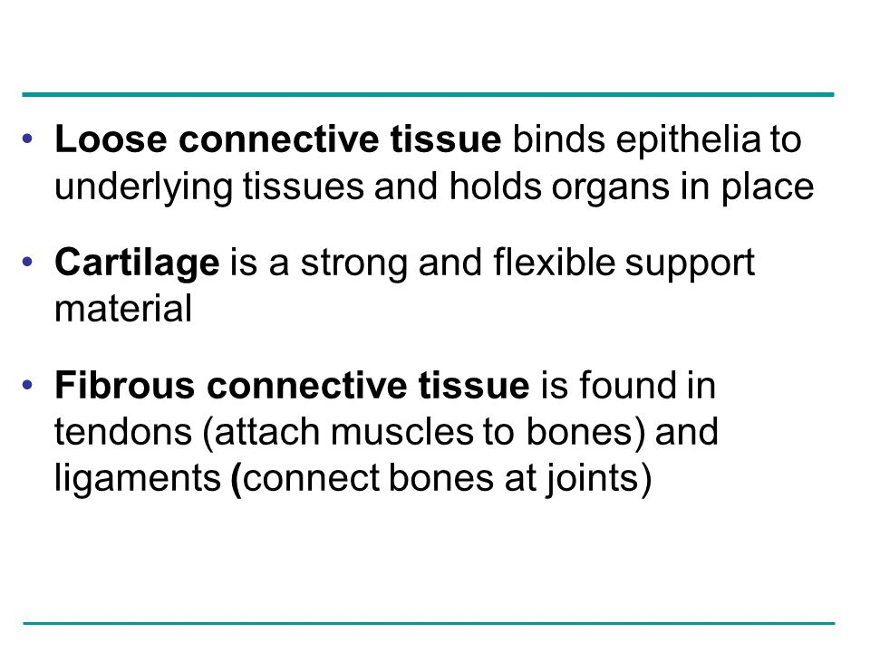 Loose connective tissue binds epithelia to underlying tissues and holds organs in place Cartilage is a strong and flexible support material Fibrous co