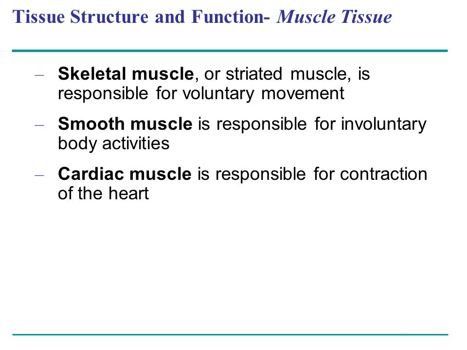 Tissue Structure and Function- Muscle Tissue – Skeletal muscle, or striated muscle, is responsible for voluntary movement – Smooth muscle is responsib