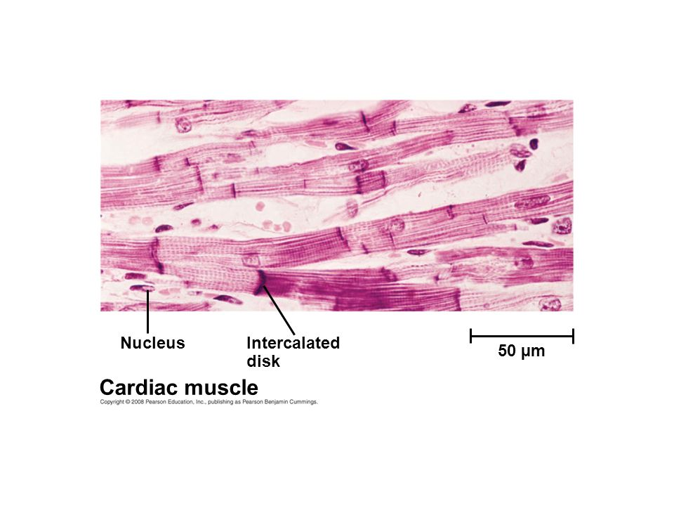 NucleusIntercalated disk Cardiac muscle 50 µm