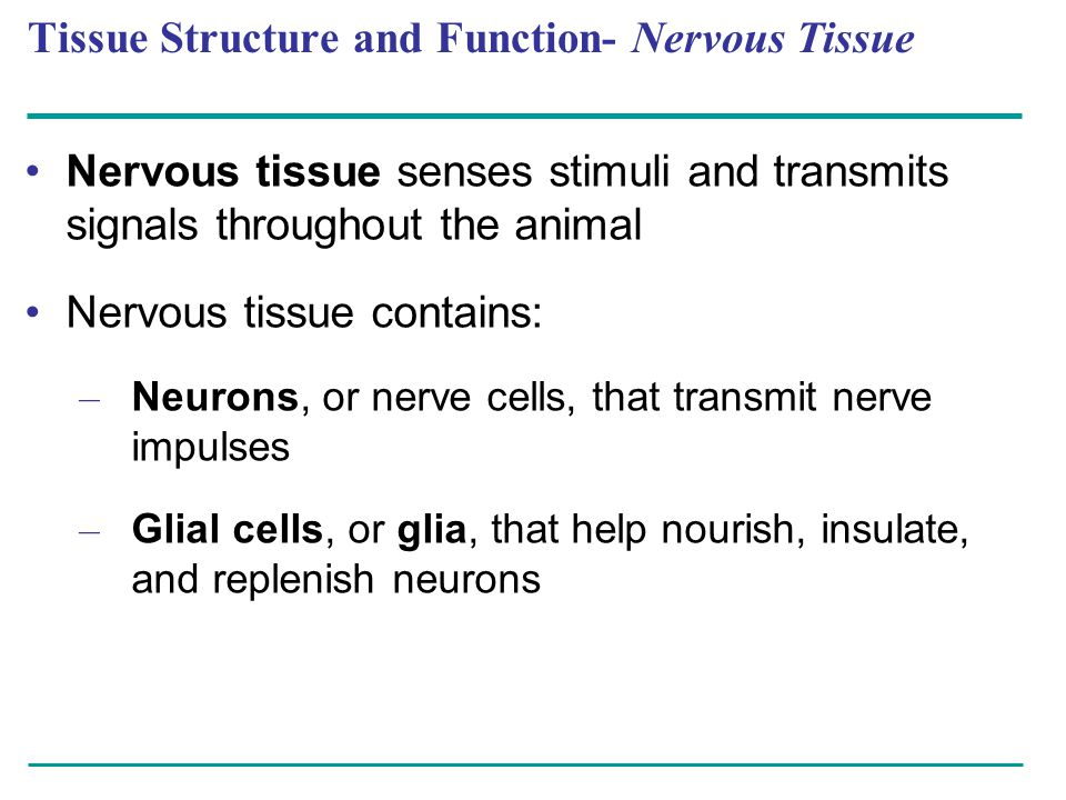 Tissue Structure and Function- Nervous Tissue Nervous tissue senses stimuli and transmits signals throughout the animal Nervous tissue contains: – Neu