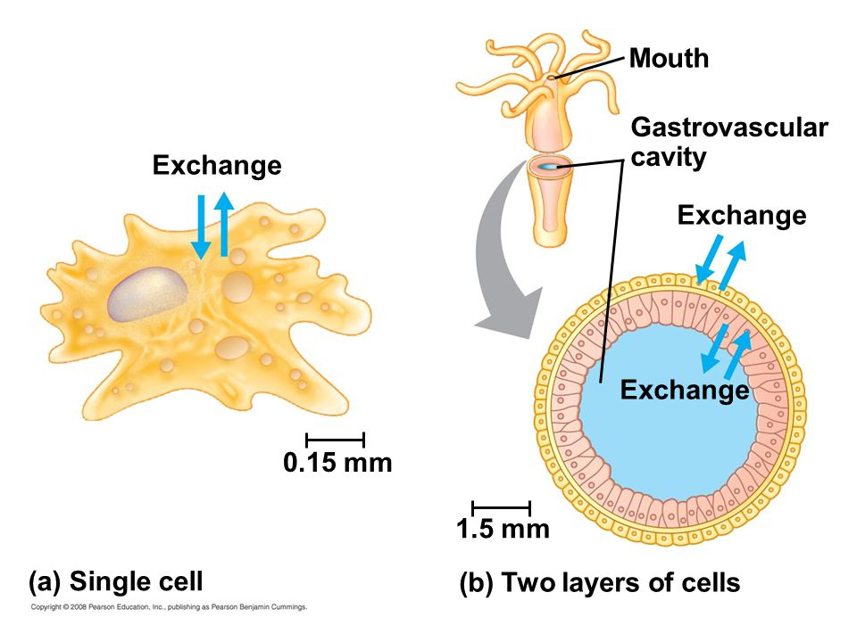 Exchange 0.15 mm (a) Single cell 1.5 mm (b) Two layers of cells Exchange Mouth Gastrovascular cavity
