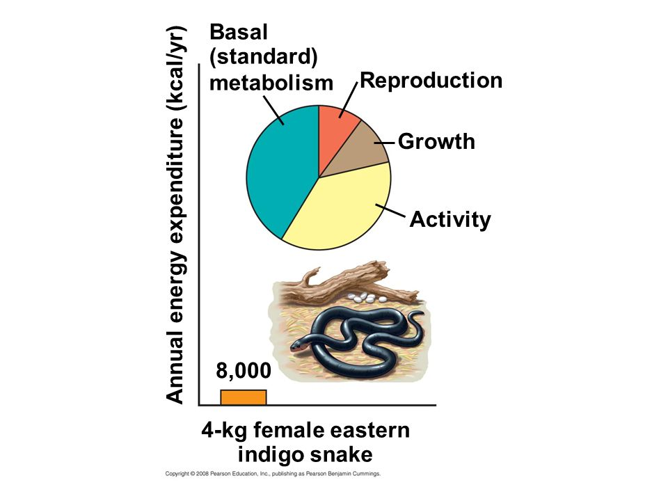 Reproduction Growth Activity Basal (standard) metabolism 4-kg female eastern indigo snake 8,000 Annual energy expenditure (kcal/yr)