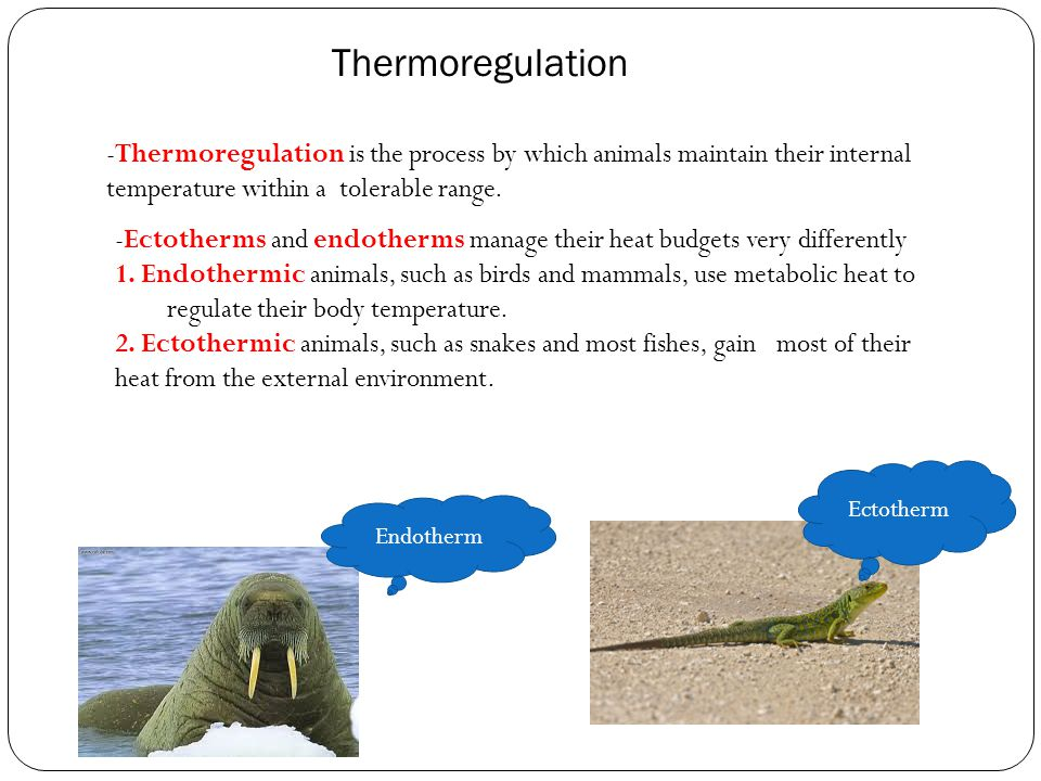 -Thermoregulation is the process by which animals maintain their internal temperature within a tolerable range. -Ectotherms and endotherms manage thei