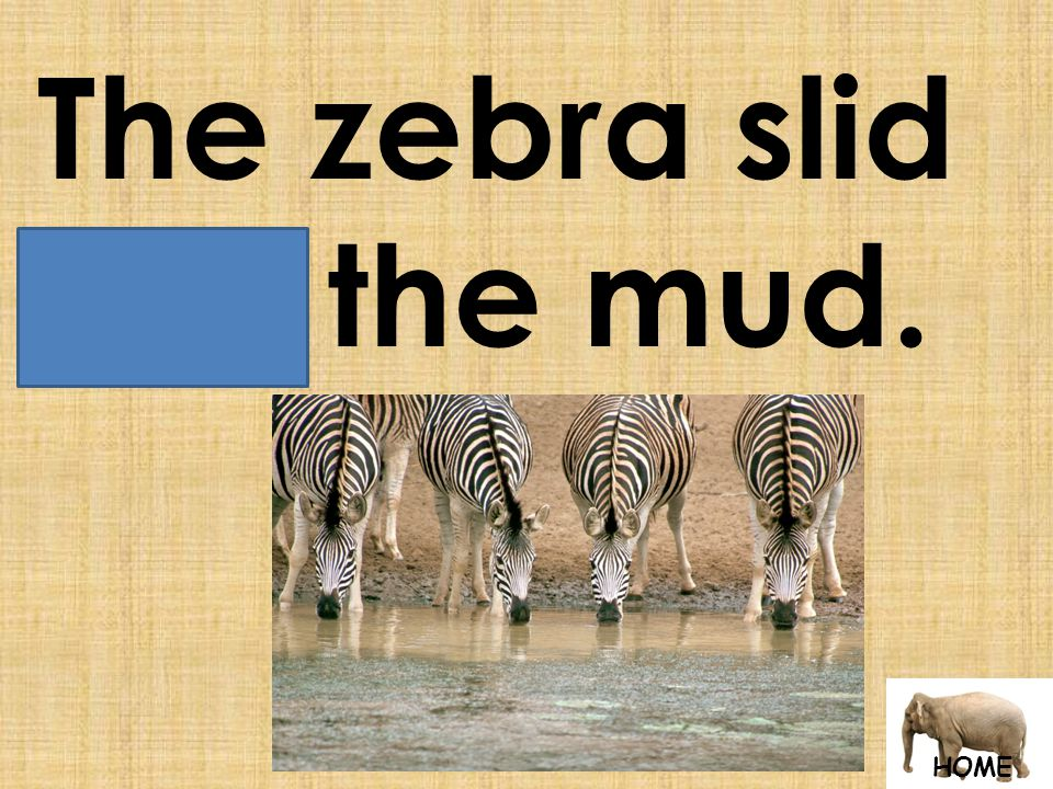 HOME The zebra slid into the mud.
