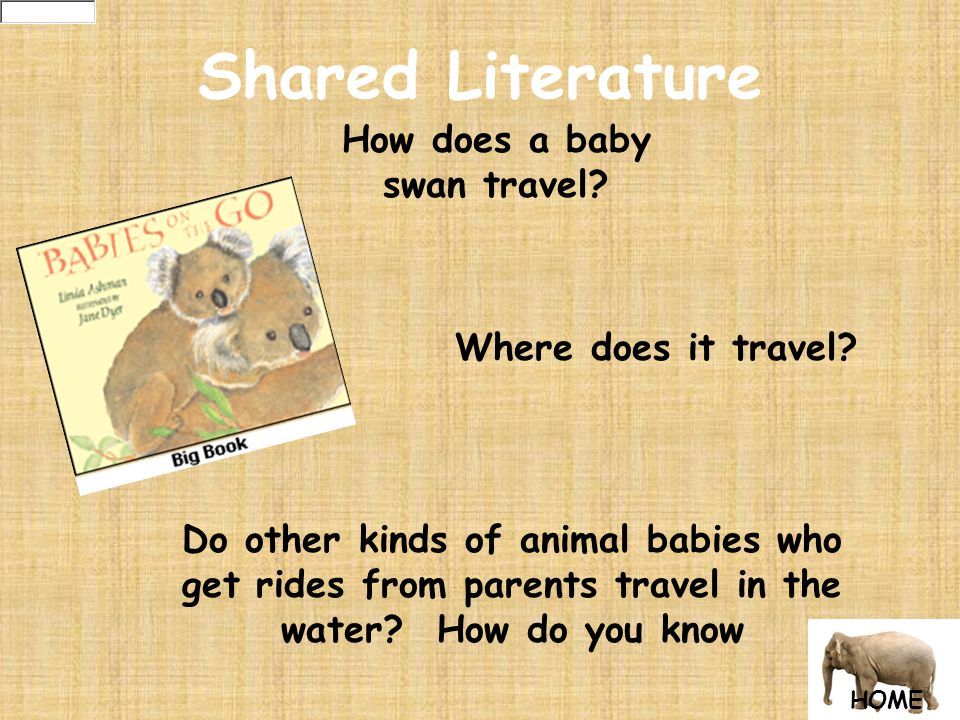 Shared Literature How does a baby swan travel. Where does it travel.