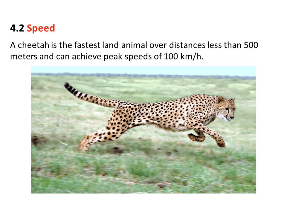 A cheetah is the fastest land animal over distances less than 500 meters and can achieve peak speeds of 100 km/h. 4.2 Speed