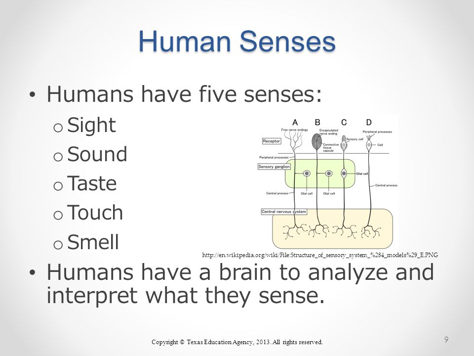Human Senses Humans have five senses: o Sight o Sound o Taste o Touch o Smell Humans have a brain to analyze and interpret what they sense.