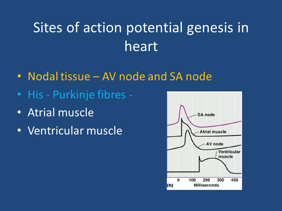 Sites of action potential genesis in heart Nodal tissue – AV node and SA node His - Purkinje fibres - Atrial muscle Ventricular muscle