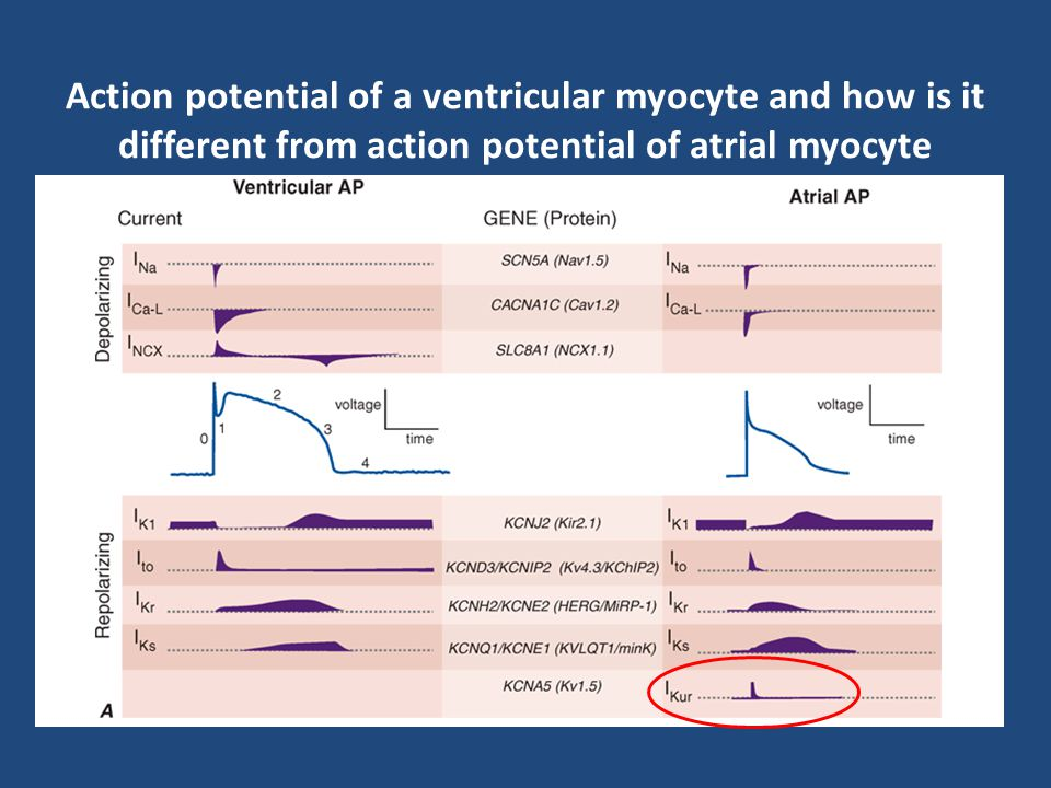 Action potential of a ventricular myocyte and how is it different from action potential of atrial myocyte The membrane of the contractile cells remain
