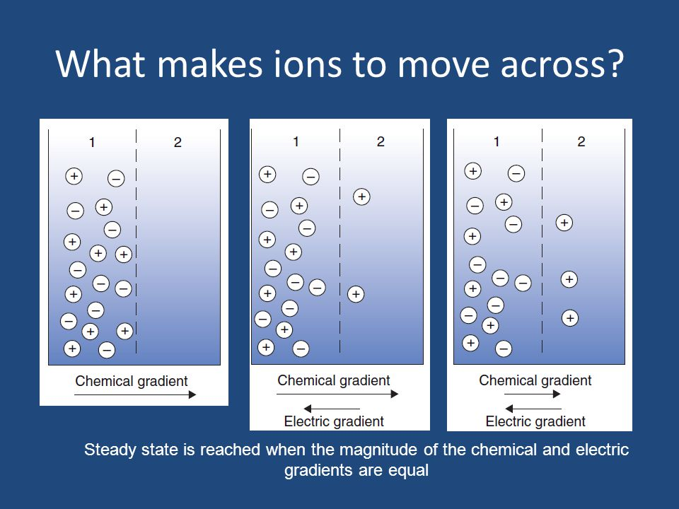 What makes ions to move across? Steady state is reached when the magnitude of the chemical and electric gradients are equal