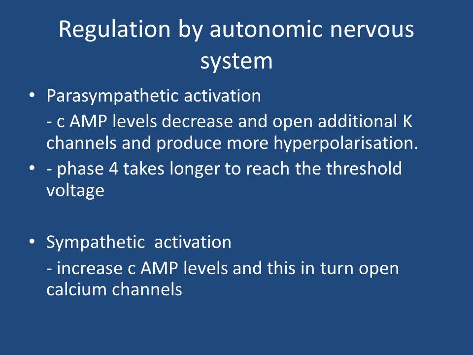 Regulation by autonomic nervous system Parasympathetic activation - c AMP levels decrease and open additional K channels and produce more hyperpolaris