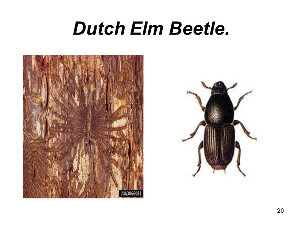 20 Dutch Elm Beetle.