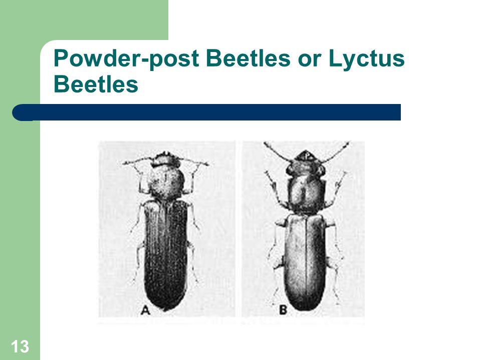 13 Powder-post Beetles or Lyctus Beetles