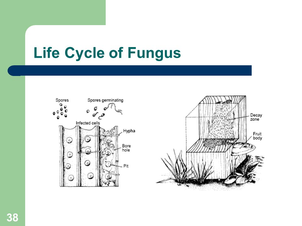 38 Life Cycle of Fungus
