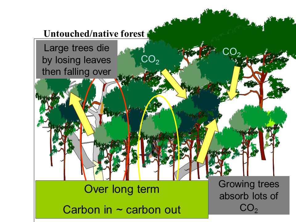 CO 2 CO 2 emitted as rotting occurs CO 2 Large trees die by losing leaves then falling over CO 2 Growing trees absorb lots of CO 2 Untouched/native forest Over long term Carbon in ~ carbon out