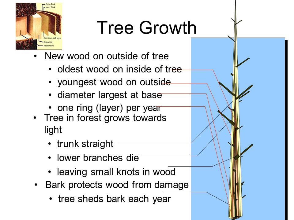 Tree Growth New wood on outside of tree oldest wood on inside of tree youngest wood on outside diameter largest at base one ring (layer) per year Tree in forest grows towards light trunk straight lower branches die leaving small knots in wood Bark protects wood from damage tree sheds bark each year