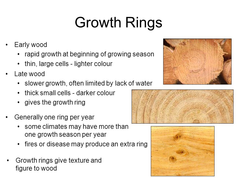 Growth Rings Early wood rapid growth at beginning of growing season thin, large cells - lighter colour Late wood slower growth, often limited by lack