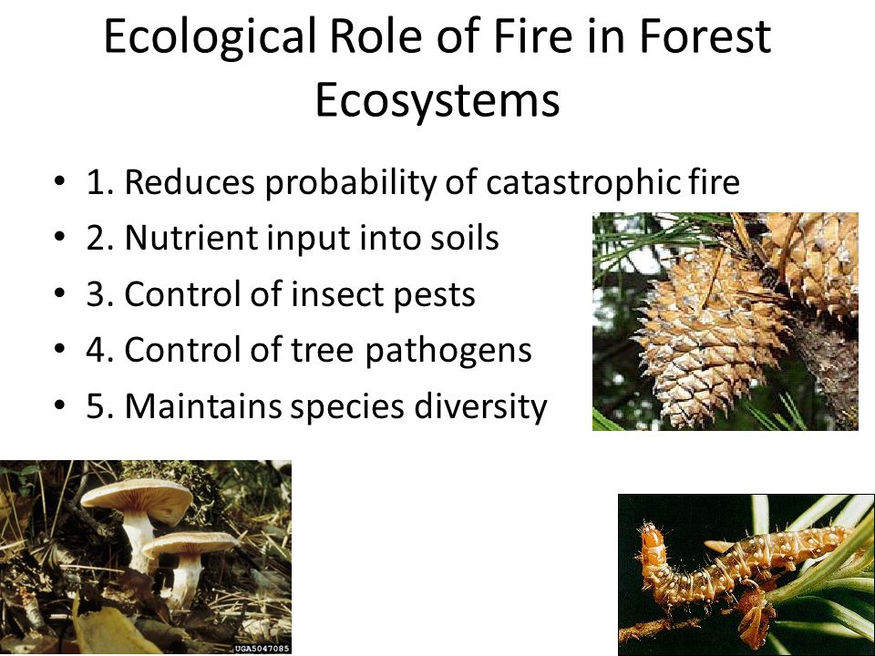 Ecological Role of Fire in Forest Ecosystems 1. Reduces probability of catastrophic fire 2.