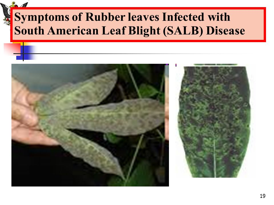Symptoms of Rubber leaves Infected with South American Leaf Blight (SALB) Disease 19