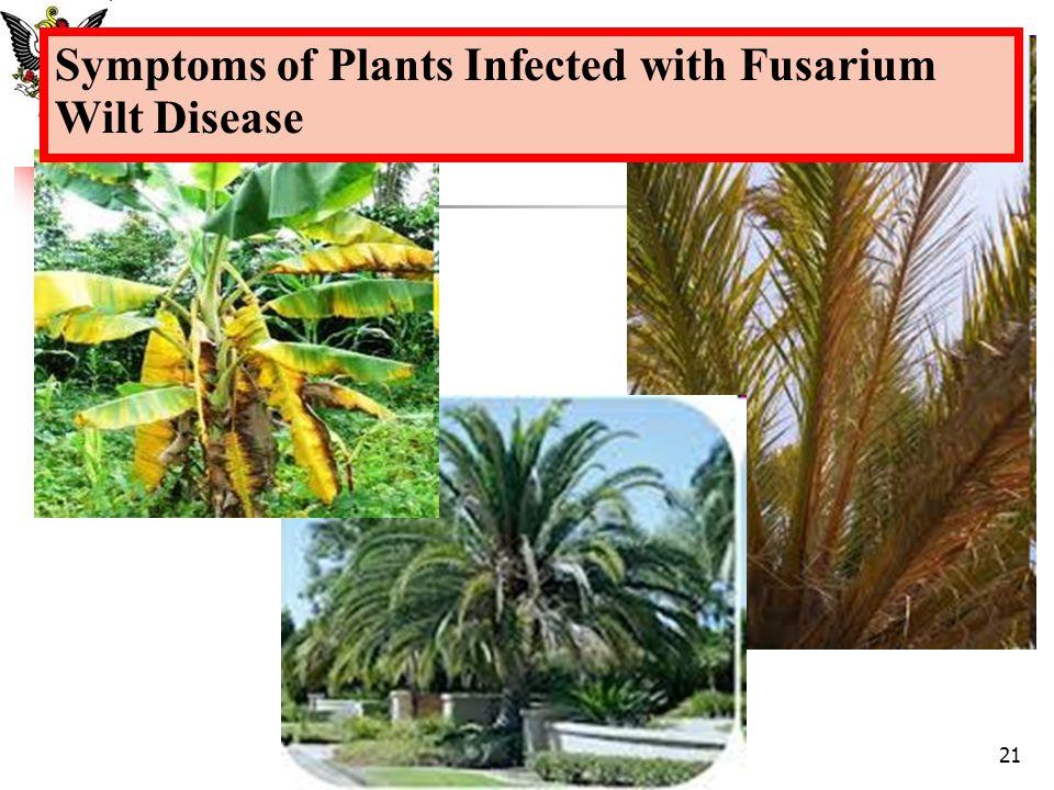 Symptoms of Plants Infected with Fusarium Wilt Disease 21