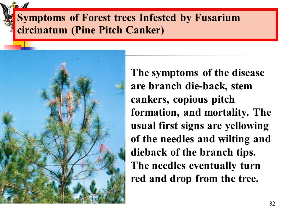 The symptoms of the disease are branch die-back, stem cankers, copious pitch formation, and mortality. The usual first signs are yellowing of the need
