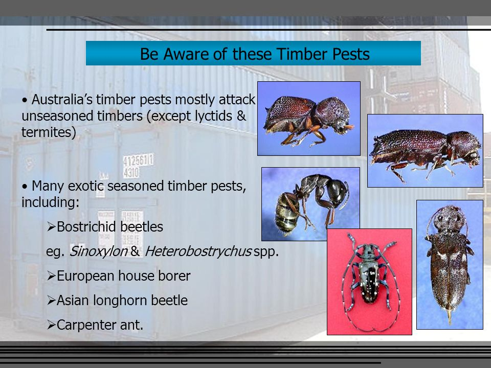 Be Aware of these Timber Pests Australia's timber pests mostly attack unseasoned timbers (except lyctids & termites) Many exotic seasoned timber pests, including:  Bostrichid beetles eg.