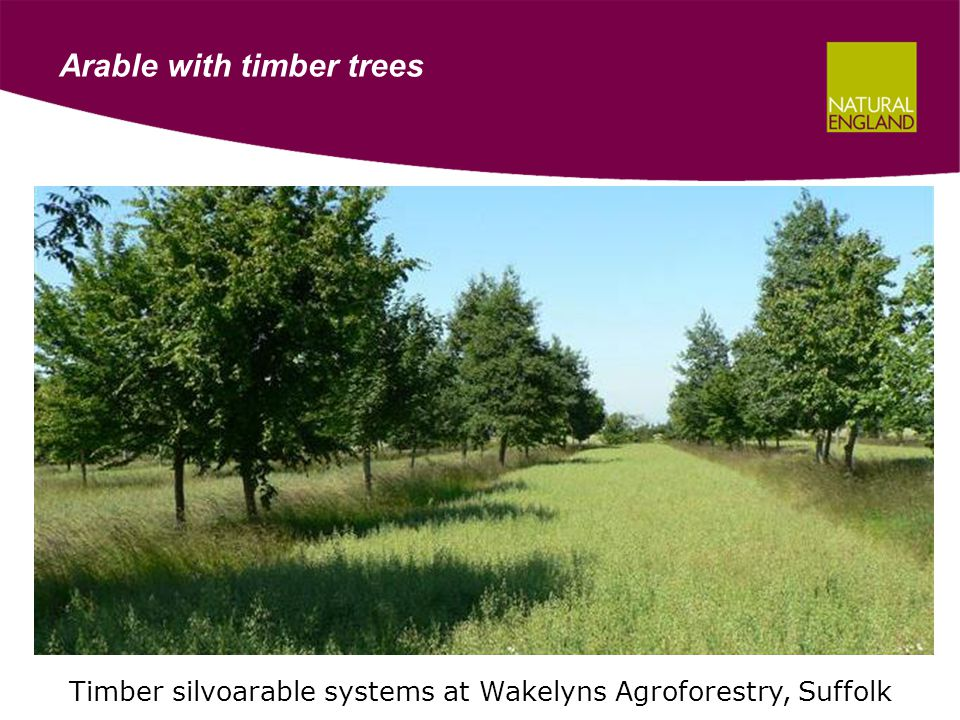 Arable with timber trees Timber silvoarable systems at Wakelyns Agroforestry, Suffolk