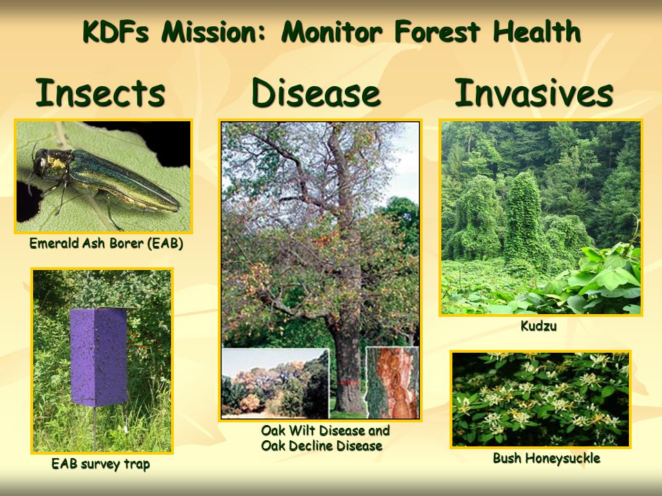 KDFs Mission:Monitor Forest Health InsectsDiseaseInvasives Emerald Ash Borer (EAB) EAB survey trap Oak Wilt Disease and Oak Decline Disease Kudzu Bush Honeysuckle