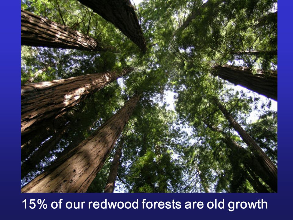 15% of our redwood forests are old growth