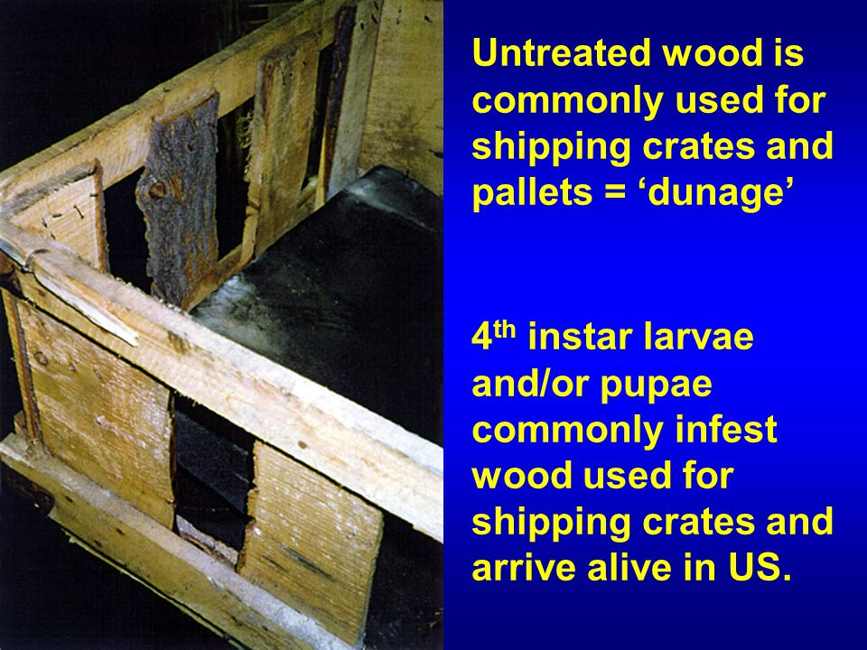4 th instar larvae and/or pupae commonly infest wood used for shipping crates and arrive alive in US.