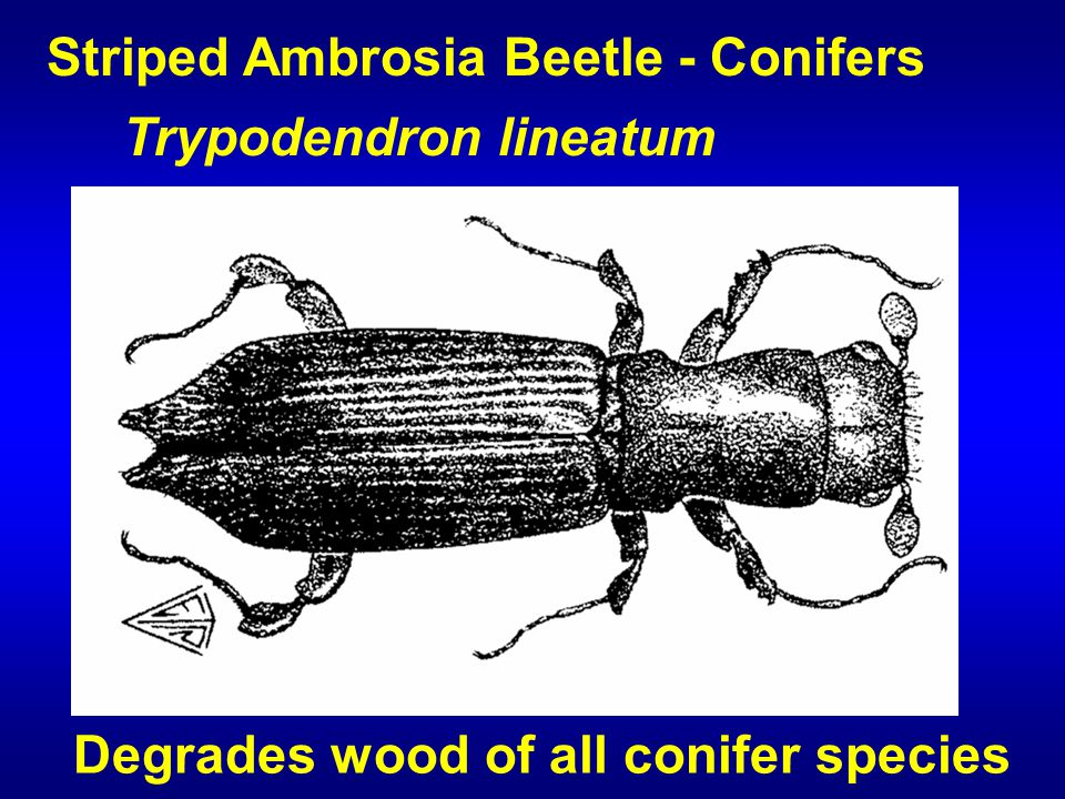 Striped Ambrosia Beetle - Conifers Trypodendron lineatum Degrades wood of all conifer species