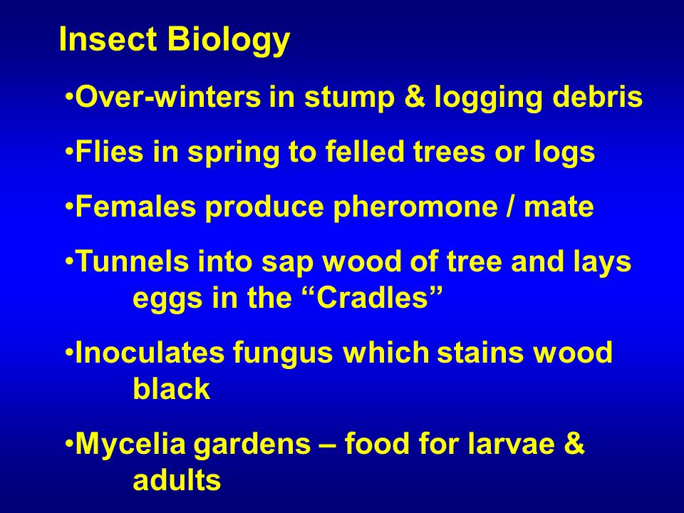 Over-winters in stump & logging debris Flies in spring to felled trees or logs Females produce pheromone / mate Tunnels into sap wood of tree and lays eggs in the Cradles Inoculates fungus which stains wood black Mycelia gardens – food for larvae & adults Insect Biology