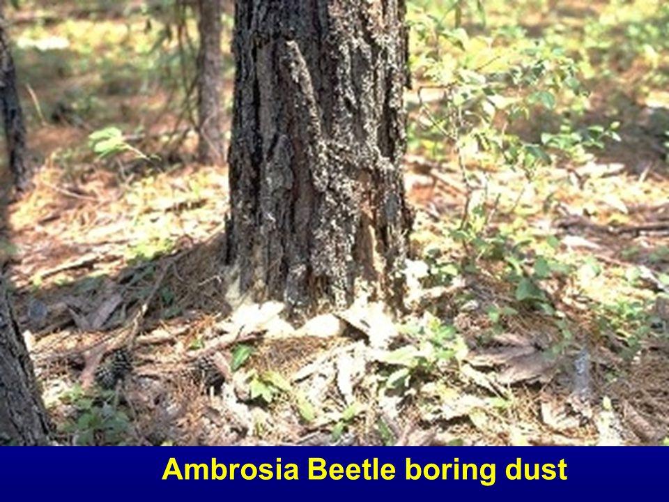 Ambrosia Beetle boring dust