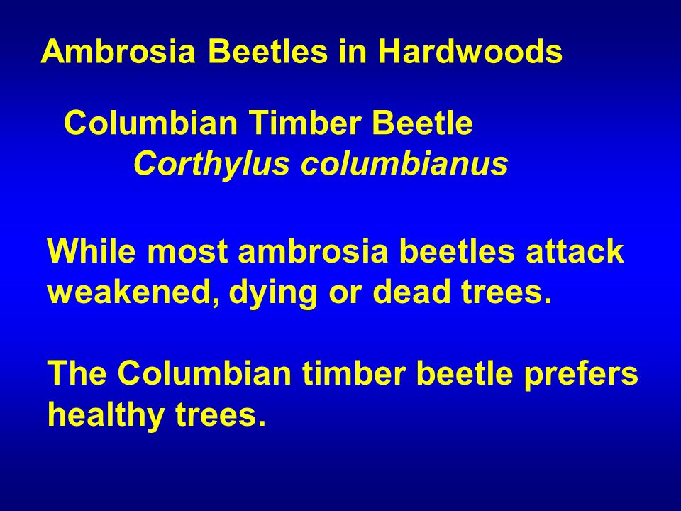 While most ambrosia beetles attack weakened, dying or dead trees.