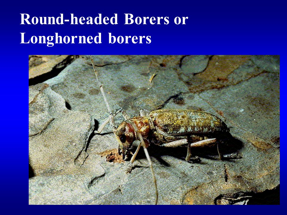 Round-headed Borers or Longhorned borers