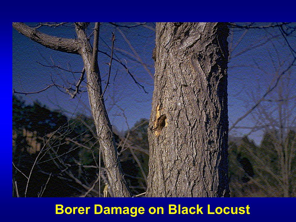 Borer Damage on Black Locust