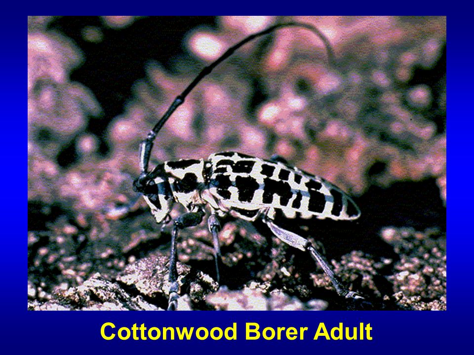 Cottonwood Borer Adult