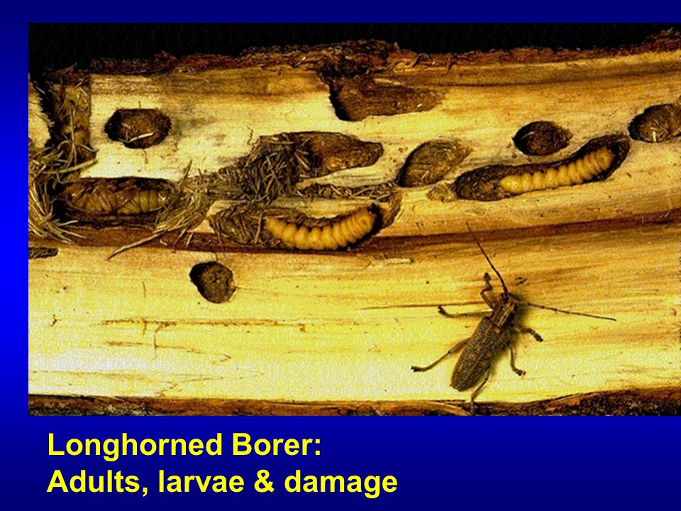 Longhorned Borer: Adults, larvae & damage