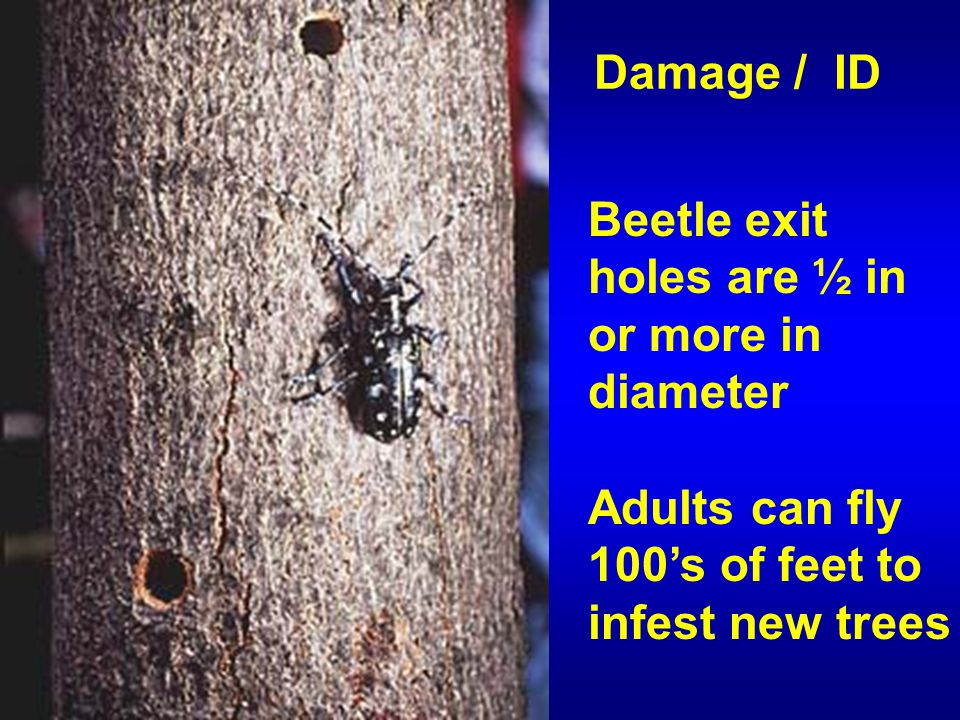 Beetle exit holes are ½ in or more in diameter Adults can fly 100's of feet to infest new trees Damage / ID
