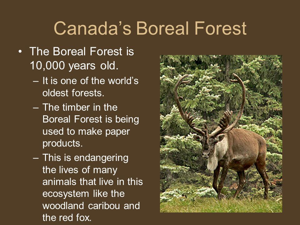 Canada's Boreal Forest The Boreal Forest is 10,000 years old. –It is one of the world's oldest forests. –The timber in the Boreal Forest is being used