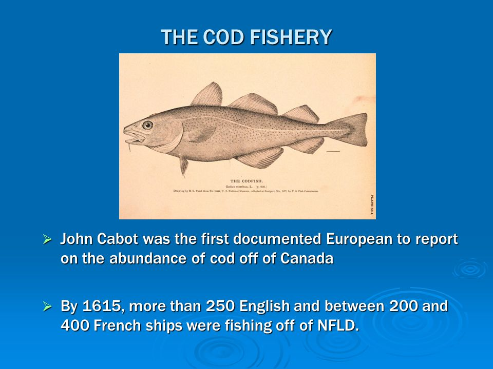 THE COD FISHERY  John Cabot was the first documented European to report on the abundance of cod off of Canada  By 1615, more than 250 English and be