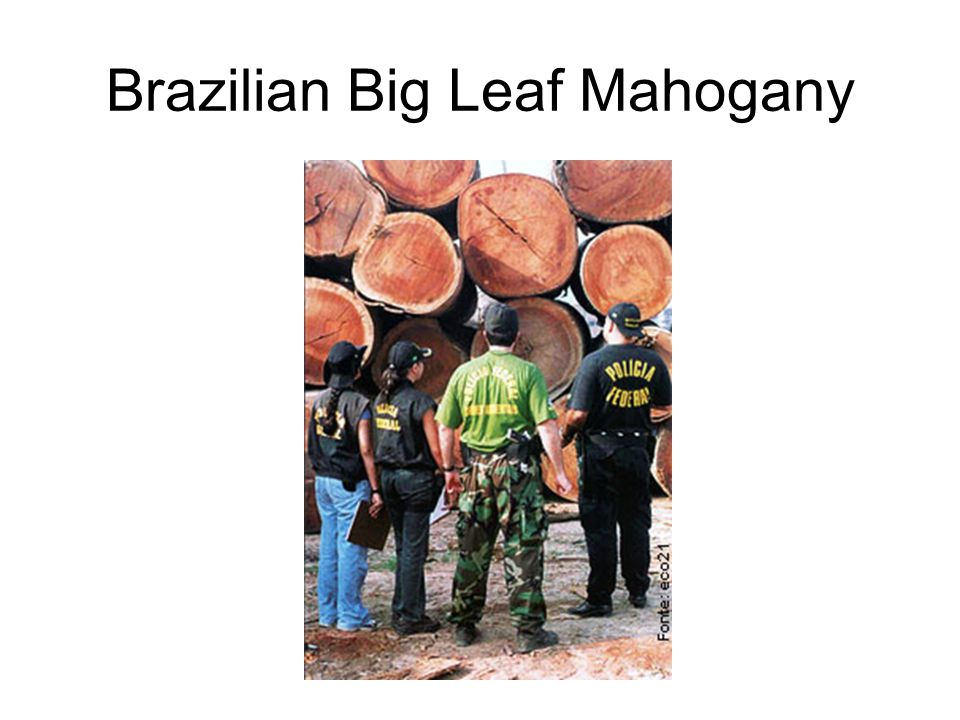 Brazilian Big Leaf Mahogany