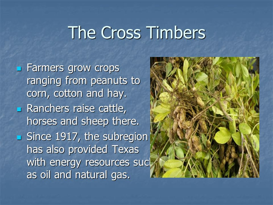 The Cross Timbers Farmers grow crops ranging from peanuts to corn, cotton and hay. Farmers grow crops ranging from peanuts to corn, cotton and hay. Ra