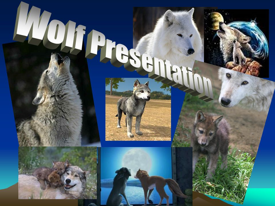 Types of Wolves Gray Wolf Timber wolf Red wolf Arctic wolf