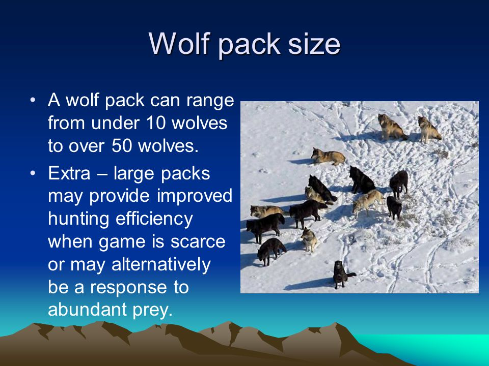 Wolf pack size A wolf pack can range from under 10 wolves to over 50 wolves.