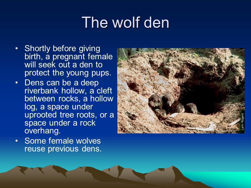 The wolf den Shortly before giving birth, a pregnant female will seek out a den to protect the young pups.