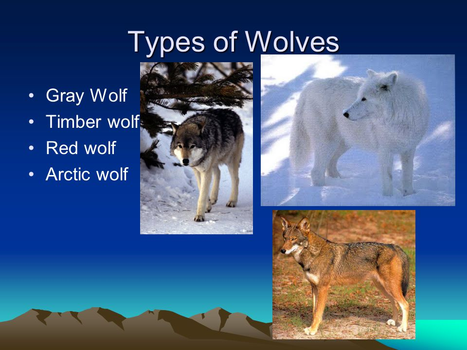 Wolf colors & coats Wolves range from all shades of gray, tan, and brown to pure white or solid black.