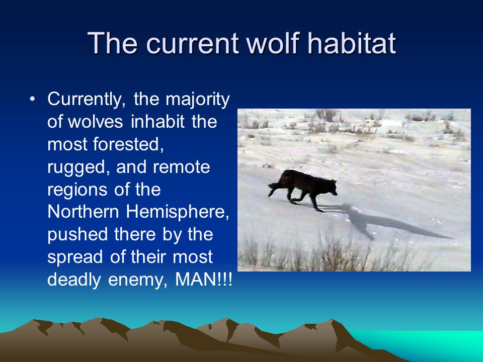 The current wolf habitat Currently, the majority of wolves inhabit the most forested, rugged, and remote regions of the Northern Hemisphere, pushed there by the spread of their most deadly enemy, MAN!!!