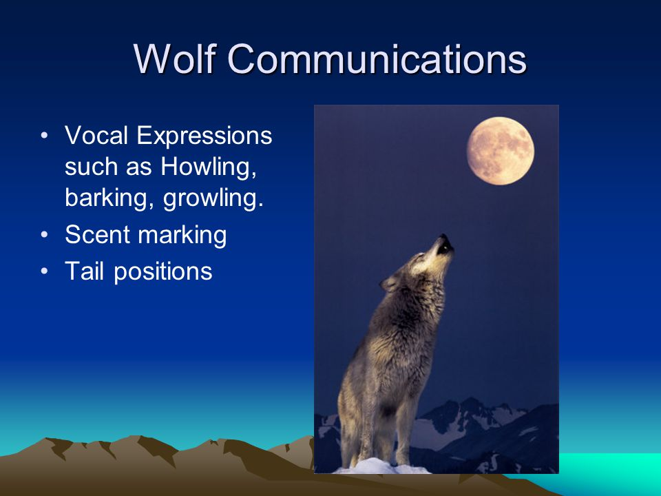 Wolf Communications Vocal Expressions such as Howling, barking, growling.